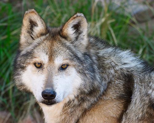 El lobo mexicano