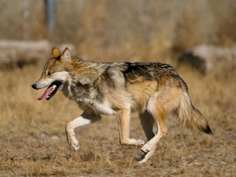 El lobo mexicano (Canis lupus baileyi)