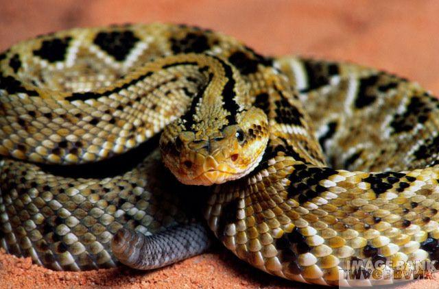 """""""serpientes Venenosas Mexicanas"""" Serpiente%20de%20cascabel"""